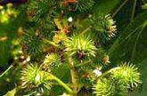 Desarrollan una semilla para biocombustibles con un rendimiento tres veces mayor al de otras variedades.