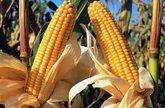 Tierras inservibles para sembrar alimentos: alternativa para producir biocarburantes