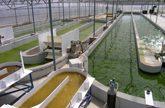 Se sientan las bases para el desarrollo del biodiesel a partir de algas