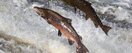 Un instituto noruego investiga las causas del impacto de las presas hidroeléctricas en los peces migratorios