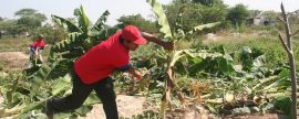 La UPM descubre a los plátanos como una potente fuente de energía para producir MW