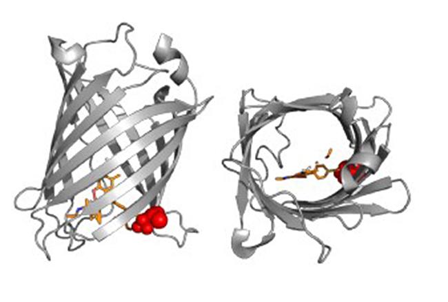 Proteínas fluorescentes artificiales.
